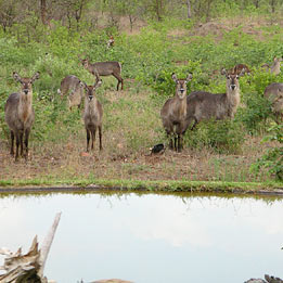 A herd of Waterbuck visiting one of the dams adjacent to Bed in the Bush's Main House.